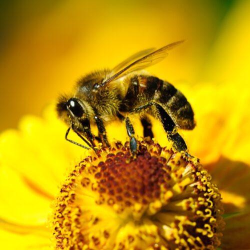 UWAGA! Zgnilec amerykański – choroba zakaźna pszczół – obszar miasta Zgierza